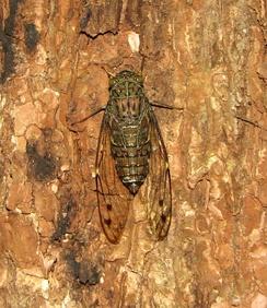 Cicadidae sp., Южная Индия