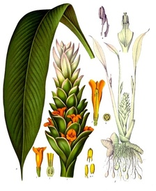 Botanical view of Curcuma longa