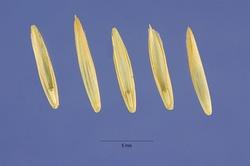 Elymus repens (L.) Gould - quackgrass - ELRE4 - Steve Hurst @ USDA-NRCS PLANTS Database.jpg