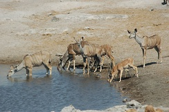 Female greater kudus and two impalas at waterhole, Namibia