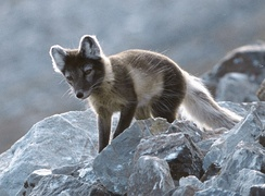 The Arctic fox has its habitat in high elevation ranges on the mainland as well as on Svalbard.