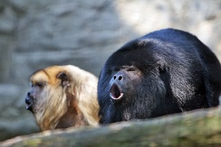 A pair of black howler monkeys vocalizing.