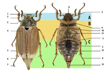 Общий план внешнего строения насекомых на примере майского хруща. А— голова, В— грудь, С— брюшко. 1— усики, 2— сложный глаз, 3— бедро, 4— две пары крыльев (в данном случае вторая пара находится под первой), 5— голень, 6— лапка, 7— коготок, 8— ротовой аппарат, 9— переднегрудь, 10— среднегрудь, 11— заднегрудь, 12— стерниты брюшка, 13— пигидий