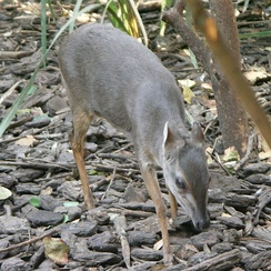 The blue duiker feeds on fallen fruits and foliage.