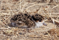 Chick in camouflaged posture