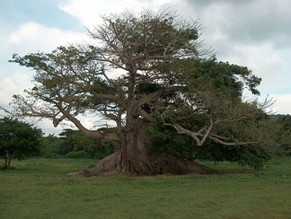 The 300-year-old ceiba tree in Vieques in August, 2005