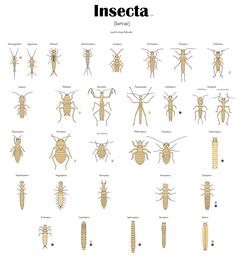 Все отряды насекомых. Личинки.