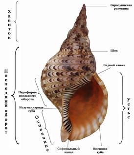 Основные части, выделяемые у раковины брюхоногих моллюсков. На примере раковины Charonia tritonis