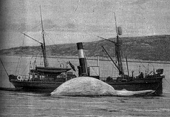 A steamship cleaning a whale, c. 1900.