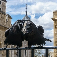 "Two of the current Ravens of the Tower of London. The ravens' presence is traditionally believed to protect the Crown and the tower; a superstition holds that ""if the Tower of London ravens are lost or fly away, the Crown will fall and Britain with it"".[118]"