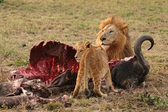 Lions are voracious carnivores; they require more than 7 kilograms of meat daily. A major component of their diet is the meat of large mammals, such as this buffalo.