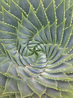 Center of a succulent (Aloe polyphylla)