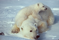 Mothers and cubs have high nutritional requirements, which are not met if the seal-hunting season is too short