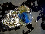 "A large sea anemone Anthopleura sola consuming a ""by-the-wind-sailor"" Velella velella a blue hydrozoan"