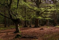 Beech trees in Mallard Wood, New Forest National Park, Hampshire, England