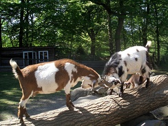 Goats establish a dominance hierarchy in flocks, sometimes through head butting.