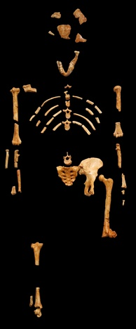 Lucy, an Australopithecus afarensis skeleton discovered 24 November 1974 in the Awash Valley of Ethiopia's Afar Depression