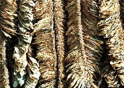 Basma tobacco leaves drying in the sun at Pomak village in Xanthi, Greece