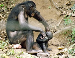 Bonobo (Pan paniscus) mother and infant at Lola ya Bonobo
