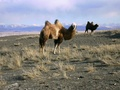 Bactrian camels in the Chuya Steppe, Altai Mountains, Russia