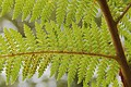 Unidentified fern with spores showing in Rotorua, NZ.