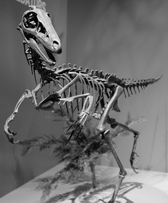 Skeletal cast of Troodon inequalis. Troodontids had some of the highest non-avian encephalization quotients, meaning they were behaviourally advanced and had keen senses.[1]