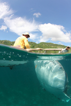 In Oslob, Philippines, whale sharks are fed shrimp to return every morning for tourists and divers.