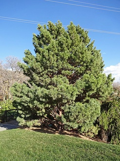 Globosa, a cultivar of Pinus sylvestris, a northern European species, in the North American Red Butte Garden
