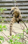 South American coati (Nasua nasua).