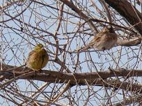 самцы обыкновенной и белошапочной овсянок в смешанной стае на зимовке