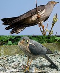 Cuckoo adult mimics sparrowhawk, giving female time to lay eggs parasitically