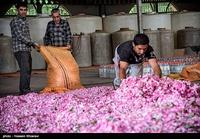 Golab being make in Meymand - Fars 11.jpg