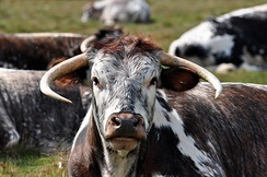 Longhorn cattle at clumber park