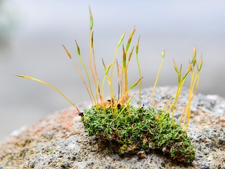 A patch of moss showing both gametophytes (the low, leaf-like forms) and sporophytes (the tall, stalk-like forms)