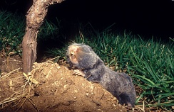 The Middle East blind mole rat uses seismic communication.