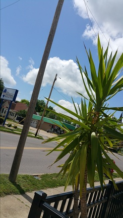 A palm tree growing in Murphysboro