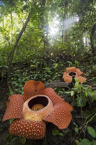 Blooming Indonesia's national flower, Rafflesia arnoldii the biggest flower in the world at Bukit Barisan Selatan National Park.
