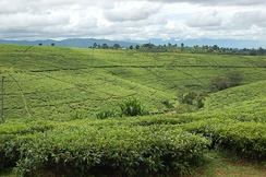 The Tea fields in Tukuyu.