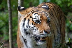 Most of the world's population of wild Siberian tigers is found in Primorsky Krai