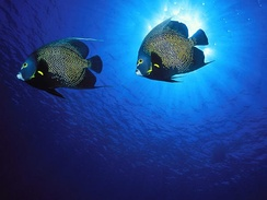 Wide-angle image of French angelfish with proper balance between flash and sunlight