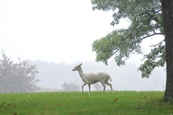 "Many fallow deer including the ""white"" variety were formerly widespread on the island"