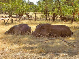 The two white rhinos at Mosi-oa-Tunya National Park in May 2005
