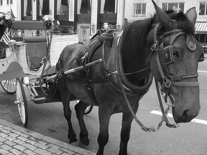 One of the many carriage horses present throughout Central Park