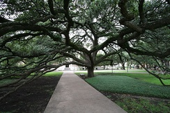 The Century Tree at Texas A&M University in College Station, Texas