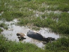Жаркую часть дня буйволы проводят в воде (южный Китай)