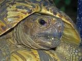 Голова леопардовой черепахи