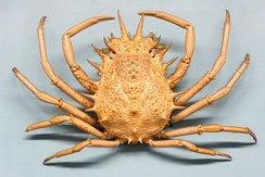 Many animals, such as this spider crab Maja crispata, are bilaterally symmetric.