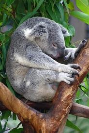 У коал медленный метаболизм и они спят в течение большей части дня