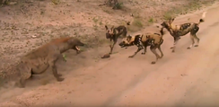 African wild dog pack confronting a spotted hyena in Sabi Sand Game Reserve