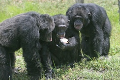 Chimpanzees are social great apes.